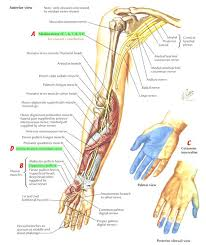 Anatomy Of The Right Arm Nerves Arm Shoulder Median Nerve Course Relations And Innervation