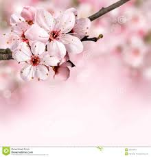 Cherry Blossom Map Spring Border Background With Pink Blossom Stock Image Image
