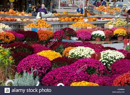 brightly colored mums flowers pumpkins and other autumn produce