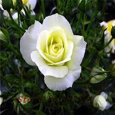white roses for sale pleasing 70 white garden bush inspiration of 114 best