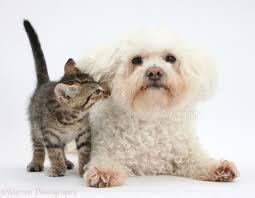 bichon frise cute pets cute tabby kitten with bichon frise photo wp35649