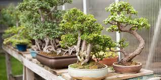 no city bonsai enthusiasts unite at the indianapolis bonsai
