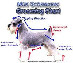 schnauzers hair cuts 435 best grooming health info for schnauzers images on pinterest