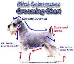 schnauzer hair styles best 25 schnauzer grooming ideas on pinterest miniature