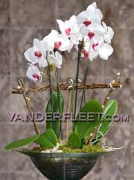 orchid delivery phalaenopsis orchid plants for delivery in toronto best toronto