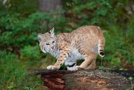 New Hampshire wild animals images New hampshire state wildcat bobcat jpg
