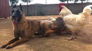 belgian malinois names you won u0027t believe this belgian malinois after online dog training