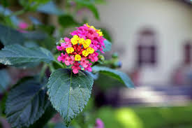 Fragrant Plants For Pots - drought resistant plants for pots brooklyn botanic garden