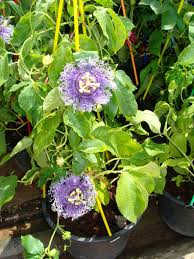 native plants passionflower vine grows passion flower in thailand nursery jpg