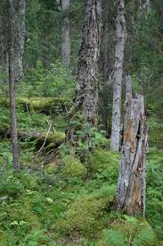 Russian Boreal Forest Disturbance Maps by Tall Herb Boreal Forests On North Ural Rjee