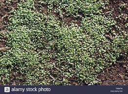 young clover sprouts densely grow from the earth stock photo