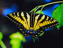 tiger swallowtail butterfly my honeys place