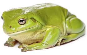 things you probably didn t about green tree frog care