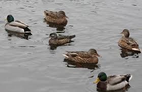 wood duck in mixed company with mallards birds of new england com