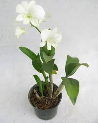 white dendrobium orchids buy dendrobium orchids white flowering plant online at best prices