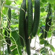 english cucumber long straight and narrow