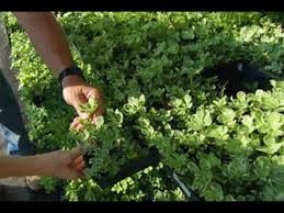 Backyard Ground Cover Options How To Choose And Plant Ground Cover This Old House Youtube