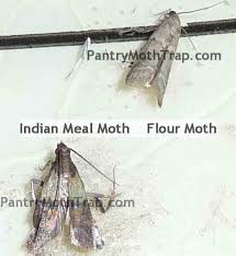 How To Get Rid Of Bugs In Kitchen Cabinets Get 20 Pantry Moths Ideas On Pinterest Without Signing Up Moth