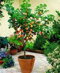 best 25 dwarf fruit trees ideas on pinterest patio fruit trees