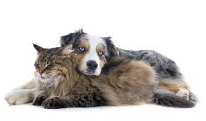 australian shepherd kidney disease vancouver veterinary senior pet health