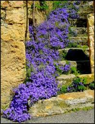 purple campanula bell flower for cottage garden u2013 start a easy