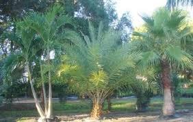 sylvester palm tree sale palm trees burnett s wholesale nursery