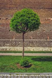 ornamental tree and brick wall stock photo image 54472894