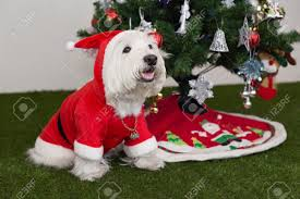westie dos in santa and christmas tree background stock