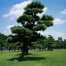 japanese tree 2009 paul photography