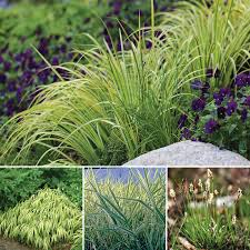 ornamental grass shade garden