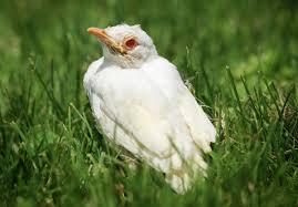 how to tell if a bird is albino audubon