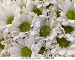 mum flowers stock images royalty free images u0026 vectors shutterstock