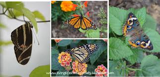 hatching butterflies with free printable