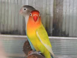 free images bird beak color fauna lorikeet lovebird macaw