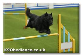 belgian shepherd uk belgian shepherd groenendael dog breed and training