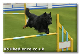 belgian sheepdog training guide belgian shepherd groenendael dog breed and training