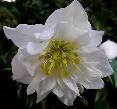 helleborus niger carolyn s shade gardens