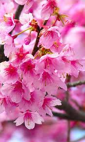 flower wallpaper for nokia x pink flowers nokia x wallpaper nokia x and nokia xl wallpapers