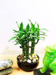 1 x tiger bamboo 3 trunks group plant in ceramic pot house feng