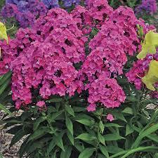 phlox flower p paniculata girl for sale at wayside