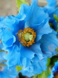 451 best flowers blue images on pinterest blue flowers plants