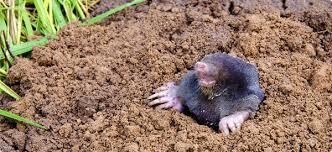 Moles Blind How To Prevent Moles In Your Yard Jpg 600x275 Q85 Crop Jpg