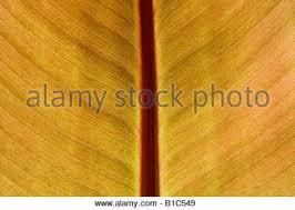 Cana Lilly Cana Lily Leaf Backlit Stock Photo Royalty Free Image 18095431