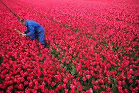 in late april dutch tulip bulb farmers chop off the flowers
