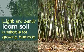 those who want to grow bamboo from cuttings should read this