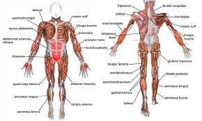 Anatomy And Physiology The Muscular System Anatomy And Physiology