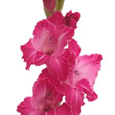 gladiolus flowers hot pink flower