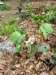 plants native to pennsylvania spring ephemerals bloom in our woodland native plant garden the