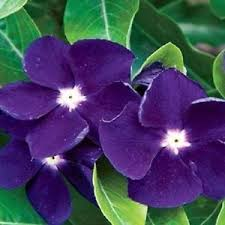 vinca flower 40 fragrant purple vinca flower seeds annual ebay