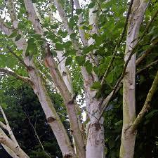multi stem white bark himalayan birch trees ornamental trees ltd